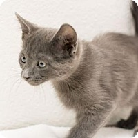 Adopt A Pet :: Percy - Fountain Hills, AZ