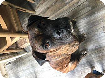 Boxer Dog for adoption in Hurst, Texas - Ninja