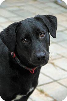 Labrador Retriever Dog for adoption in Morganville, New Jersey - Ryan