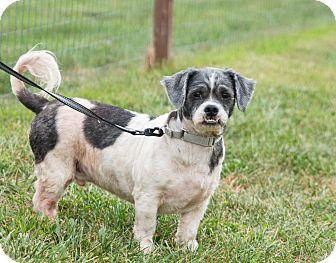 Shih Tzu Mix Dog for adoption in Seville, Ohio - Roscoe