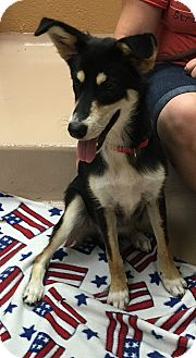 Border Collie/Husky Mix Dog for adoption in Battle Creek, Michigan - Belle