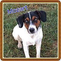 Adopt A Pet :: Mozart - Haggerstown, MD