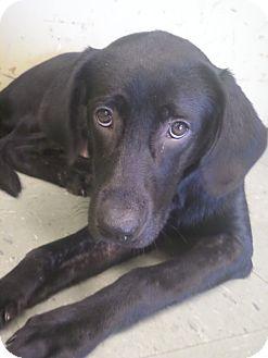 Labrador Retriever Mix Dog for adoption in Cleveland, Mississippi - DREW