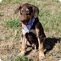 Doberman Pinscher Mix Puppy for adoption in Allentown, Pennsylvania - PUPPY REESES