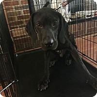 Labrador Retriever/German Shorthaired Pointer Mix Dog for adoption in Woodbridge, Virginia - Lincoln