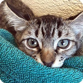 Domestic Shorthair Kitten for adoption in North Las Vegas, Nevada - Linda