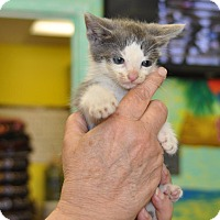 Domestic Shorthair Kitten for adoption in Sunrise Beach, Missouri - Ono
