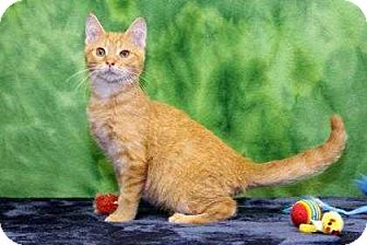 Domestic Shorthair Kitten for adoption in South Bend, Indiana - Marcel