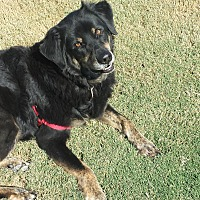 Gordon Setter/Golden Retriever Mix Dog for adoption in Manchester, New Hampshire - Gunnar Gordon