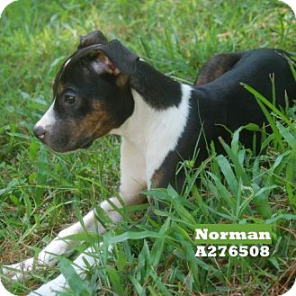 Boxer Mix Dog for adoption in Conroe, Texas - NORMAN