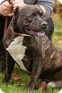 Mastiff/Boxer Mix Dog for adoption in South Haven, Michigan - Bruno