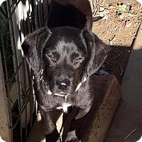 Adopt A Pet :: Monkey - BONITA, CA