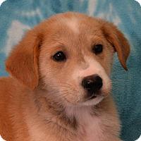 Labrador Retriever/Border Collie Mix Dog for adoption in Eureka, California - Felix