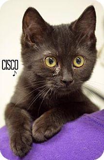 Domestic Shorthair Kitten for adoption in Niagara Falls, New York - Cisco