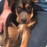 Adopt A Pet :: Cassie - Flower Mound, TX