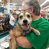 Chihuahua/Terrier (Unknown Type, Small) Mix Dog for adoption in House Springs, Missouri - Bentley
