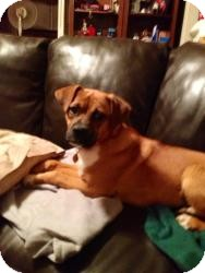 Boxer Dog for adoption in Hancock, Michigan - Amore