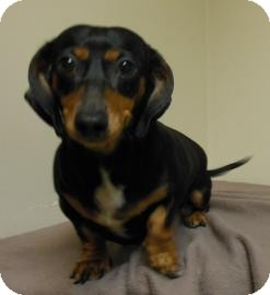 Dachshund Mix Dog for adoption in Gary, Indiana - Sally