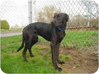 Scorpio Adopted Puppy 848 Bridgeport Ct Boxer Greyhound Mix