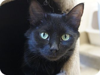 Domestic Mediumhair Cat for adoption in Libby, Montana - Mugsy