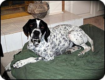 Pointer Dog for adoption in Denton, Texas - Specs