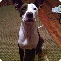 Adopt A Pet :: Neva - Charlotte, NC