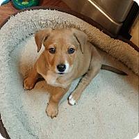 Adopt A Pet :: Davida Bowie - Eastpointe, MI