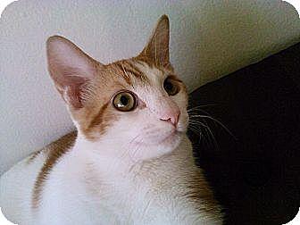 Turkish Van Cat for adoption in Cerritos, California - Jacobo