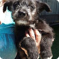 Adopt A Pet :: SHEBA - Gustine, CA
