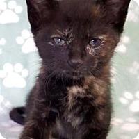 Adopt A Pet :: Merlot - Yucaipa, CA