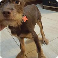 Adopt A Pet :: Obi - Encino, CA