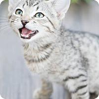Adopt A Pet :: Camille - Modesto, CA