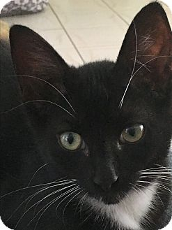 Domestic Shorthair Kitten for adoption in New Port Richey, Florida - Alex