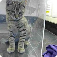 Adopt A Pet :: *STRIPES - Sacramento, CA