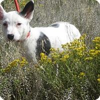 Adopt A Pet :: Roxy - Ridgway, CO