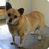Chihuahua/Corgi Mix Dog for adoption in Priest River, Idaho - Sugar