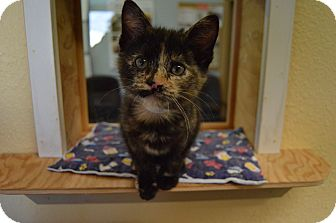 Domestic Shorthair Kitten for adoption in Buena Vista, Colorado - Espresso