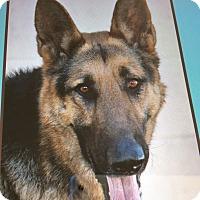 German Shepherd Dog Dog for adoption in Los Angeles, California - ZAVI AKA APOLLO VON AUGSBURG