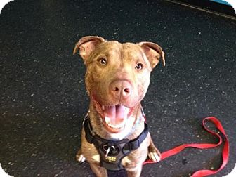 Catahoula Leopard Dog Mix Dog for adoption in West Springfield, Massachusetts - Frankie