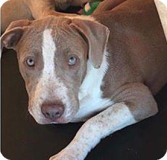 American Bulldog/Basset Hound Mix Puppy for adoption in Birmingham, Alabama - Chandler