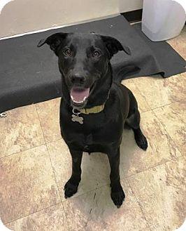 Retriever (Unknown Type) Mix Dog for adoption in Chicago, Illinois - Princess 9