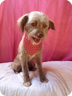Terrier (Unknown Type, Small) Mix Dog for adoption in San Diego, California - Cookie