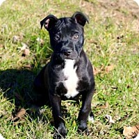 American Bulldog Mix Puppy for adoption in richmond, Virginia - PUPPY SPARKLES