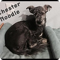 Adopt A Pet :: Chester Noodle - Houston, TX