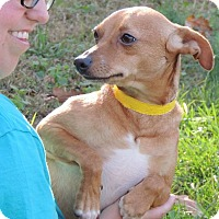 Adopt A Pet :: Gordita - Joplin, MO