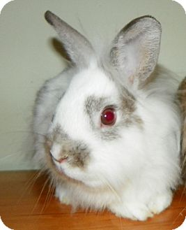Lionhead Mix for adoption in North Gower, Ontario - Bolt