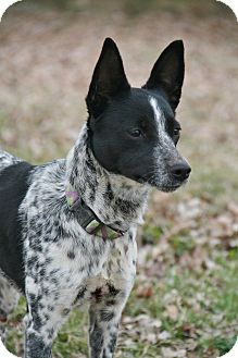 rat terrier australian cattle dog mix cora adopted dog nashville tn australian cattle dog 6465