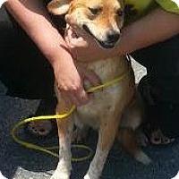Adopt A Pet :: Todd - Bardonia, NY