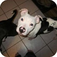Adopt A Pet :: Scooby ~ Adoption Pending - Youngstown, OH