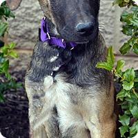 Adopt A Pet :: Athena - Bridgeton, MO